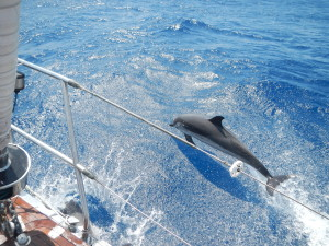 Dolphin mimicing Pakilar's leap and ride down a surging sea